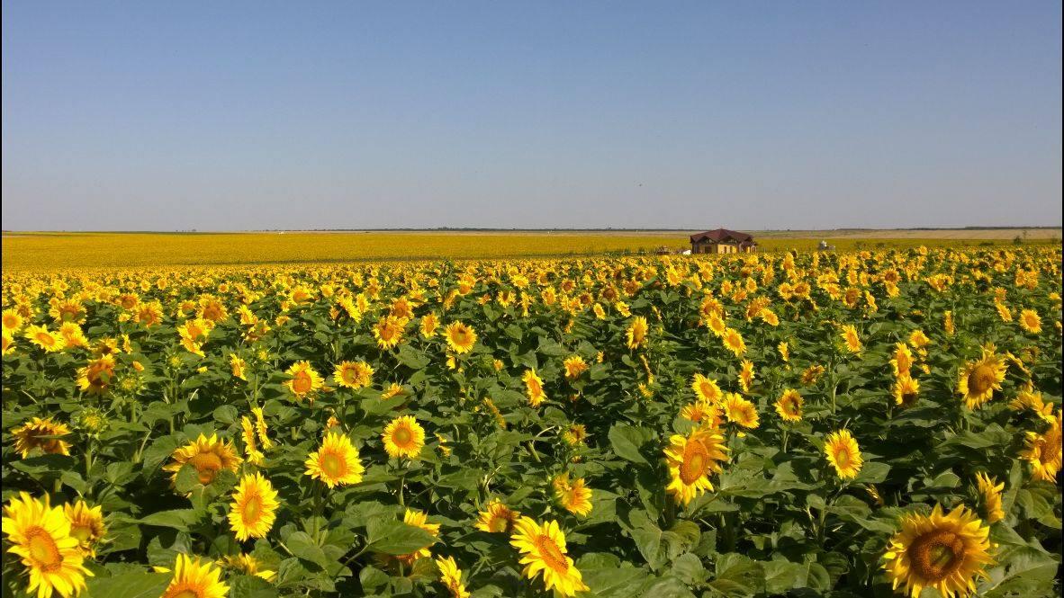 Merigar East panorama of sunflowers